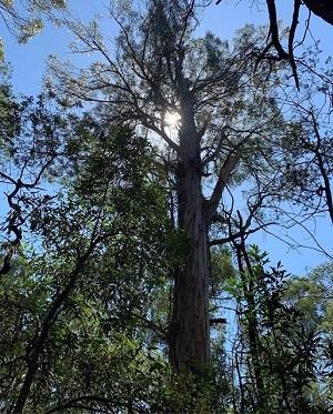 Amazing trees on National Trust of Australia (Victoria) register
